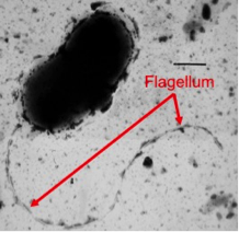 Transmission Electron Micrograph of Bacterium.png