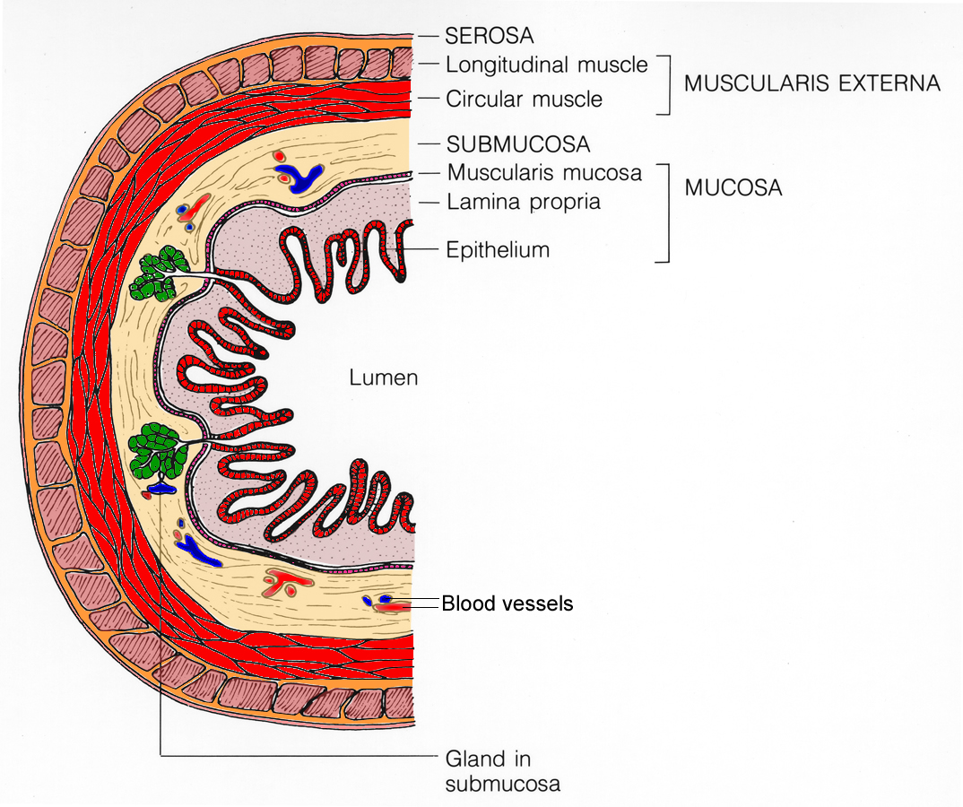 colon layers