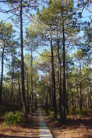 French Pine trees