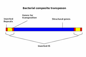 schematic of a bacterial composite transposon