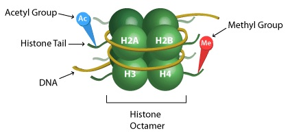 histone-methylation-acetylation.jpg