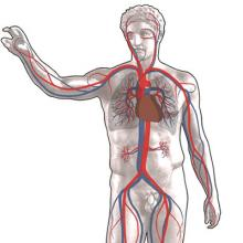 drawing of the circulatory system