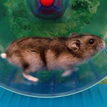 hamster running in wheel.
